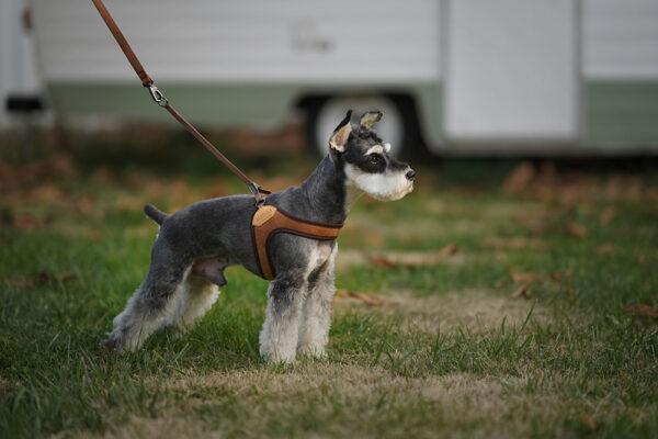 Hund mit Easy Harness Brown