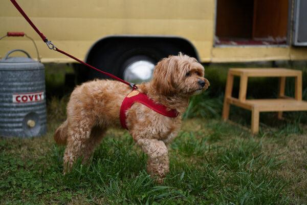 Hund mit Easy Harness Red