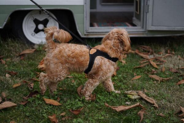 Hund seitlich mit Easy Harness Black
