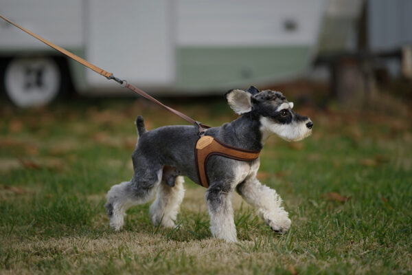 Hund seitlich mit Easy Harness Brown