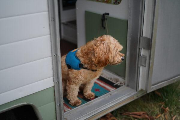 Hund mit Above Harness Blue