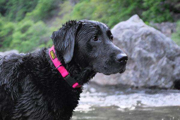 Hund mit DeWater Collar Pink