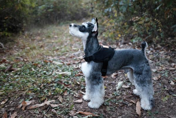Hund seitlich mit Above Harness Black