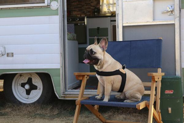 Hund seitlich mit Buckle Up Easy Harness Black