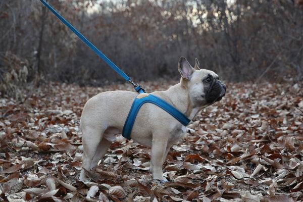 Hund seitlich mit Buckle Up Easy Harness Blue