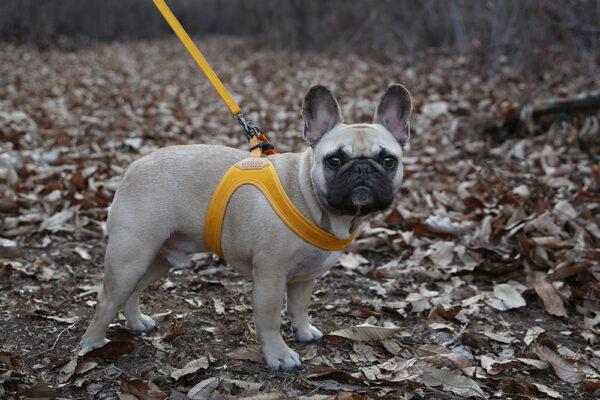 Hund seitlich mit Buckle Up Easy Harness Yellow