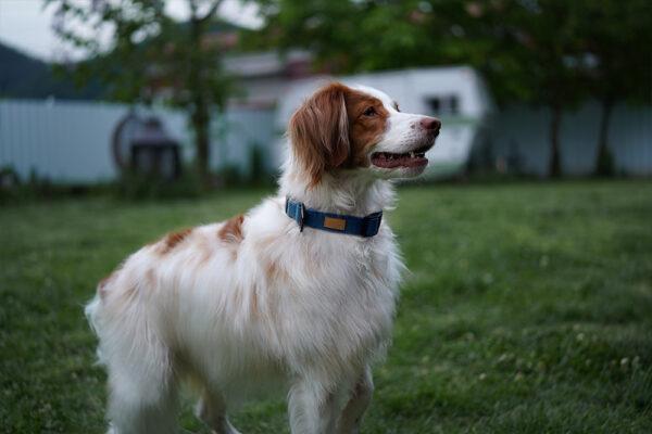Hund seitlich mit Field Collar Blue