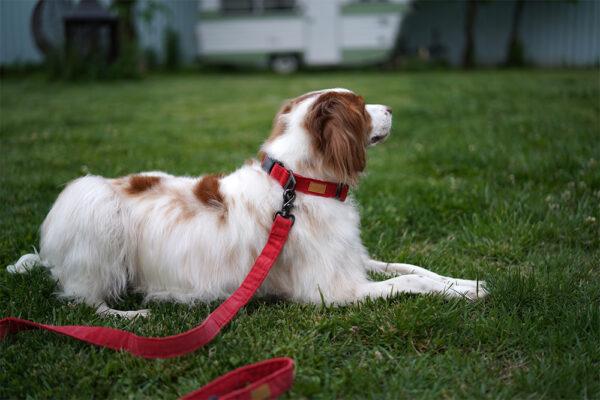 Hund seitlich mit Field Collar and Leash Red