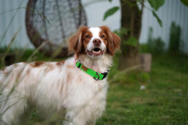 Hund seitlich mit Field Collar Neon Green