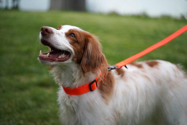 Hund seitlich mit Field Collar Neon Orange