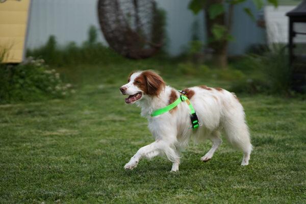 Hund seitlich mit Field-X Harness Neon Green