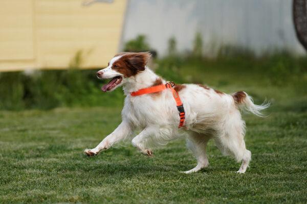 Hund seitlich mit Field-X Harness Neon Orange