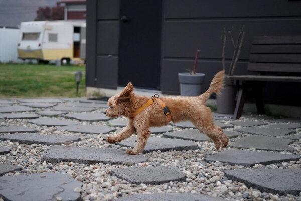 Hund seitlich mit Field-X Harness Yellow