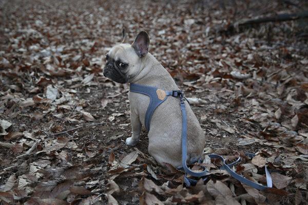 Hundenacken mit Buckle Up Easy Harness Grey